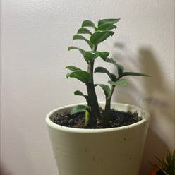 Dwarf ZZ Plant plant