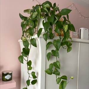 Rating of the plant Marble Queen Pothos named Maurice by Daniellesth on Greg, the plant care app