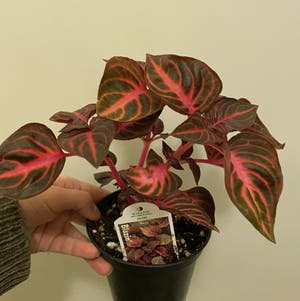 Herbst's Bloodleaf plant photo by Cjsplanties named Blazin on Greg, the plant care app.