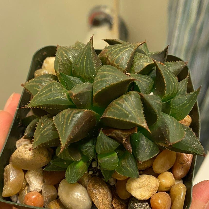 Haworthia cooperi plant in Somewhere on Earth