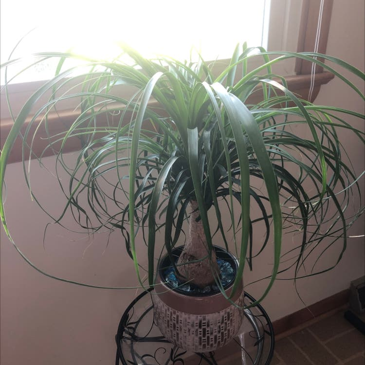 Ponytail Palm plant in Frederick, Maryland