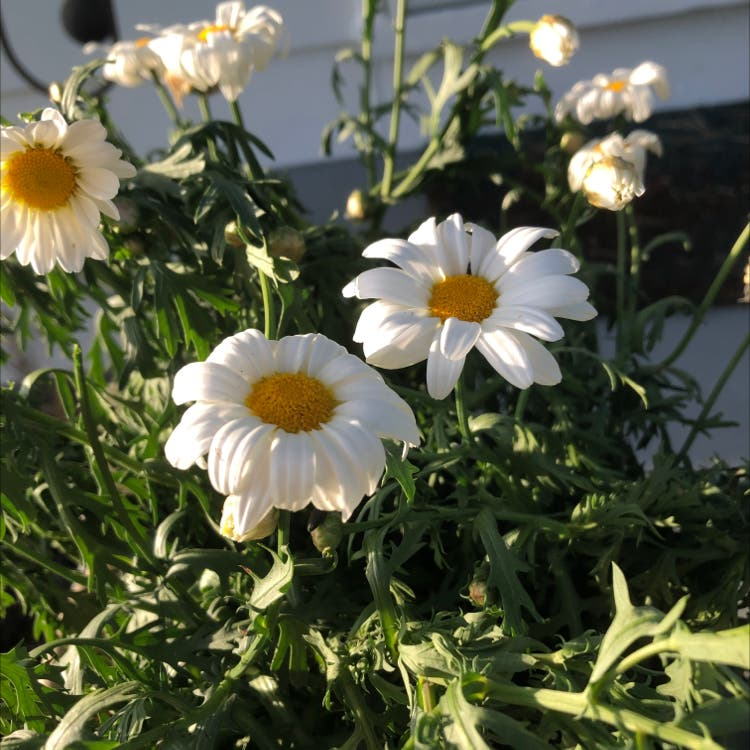 Marguerite daisy plant in Frederick, Maryland