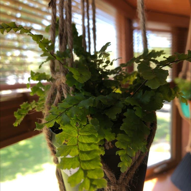 Northern maidenhair fern plant in Frederick, Maryland