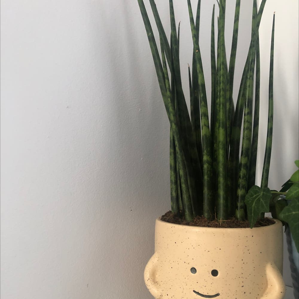 Photo of the plant species Snake Plant by Sadiethepenguin named Megan Thee Plant on Greg, the plant care app