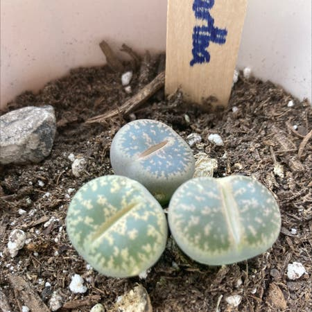 Photo of the plant species Argyroderma pearsonii by Rosa_roedner named Martha on Greg, the plant care app