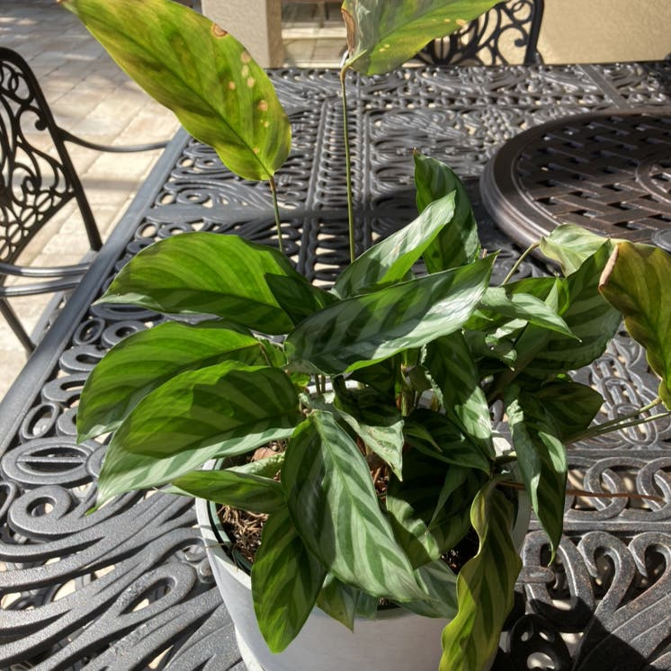 Rose Calathea plant in Naples, Florida