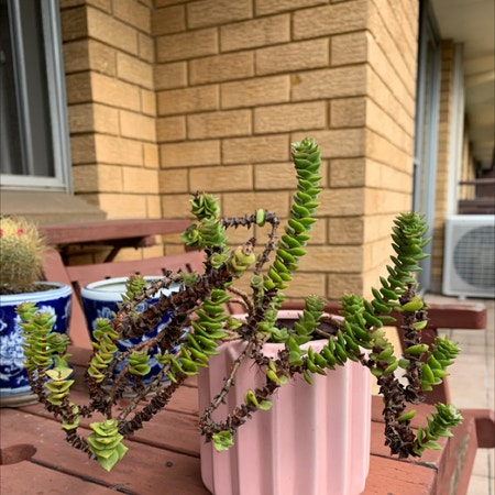 Photo of the plant species Green Pagoda by Rosesreflection named spike on Greg, the plant care app