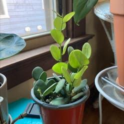Silver Dollar Vine plant
