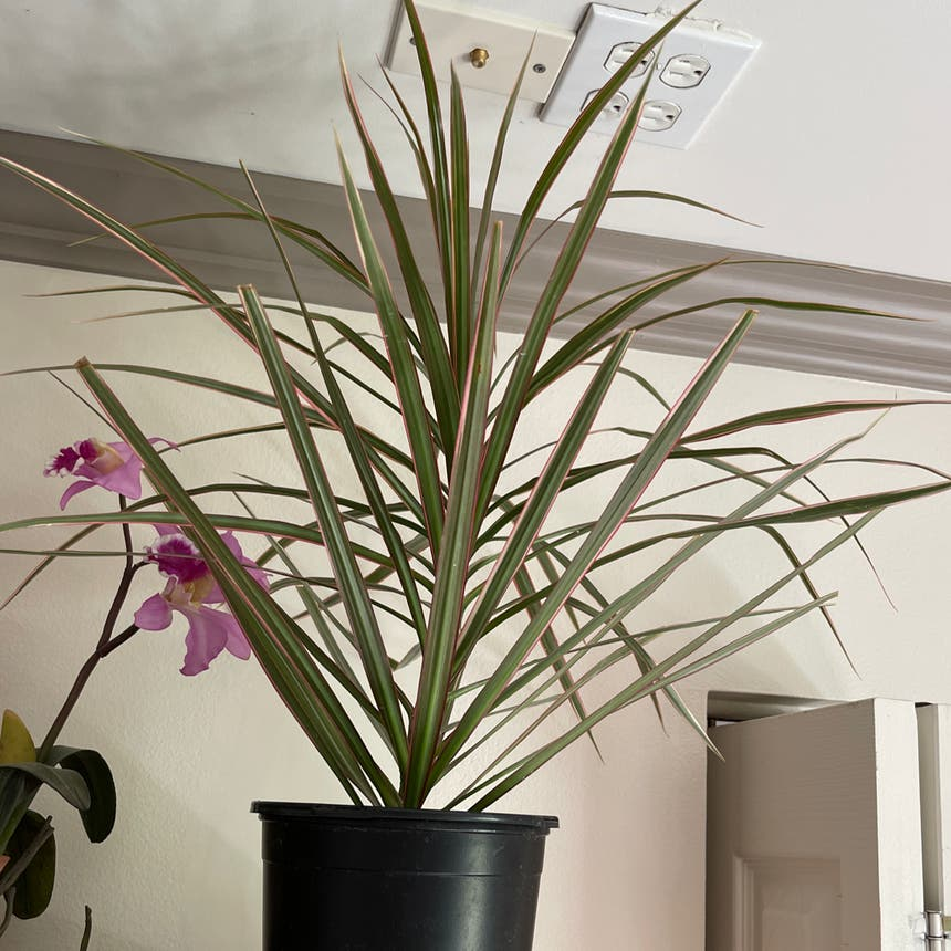 Dracaena 'Ray of Sunshine' plant in Somewhere on Earth