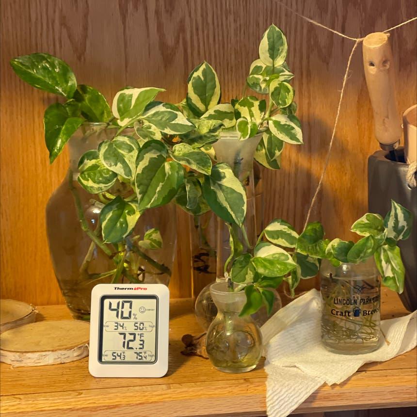 Pearls and Jade Pothos plant in Somewhere on Earth