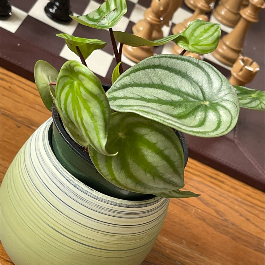 Watermelon Peperomia plant in Somewhere on Earth