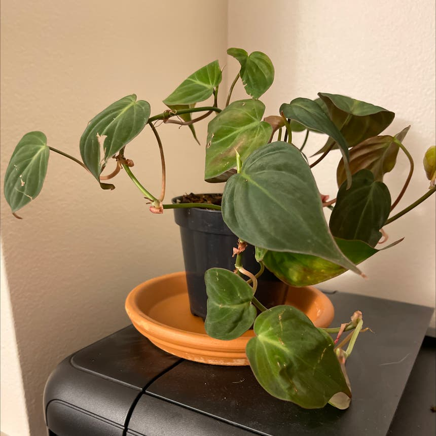 Velvetleaf philodendron plant in Somewhere on Earth