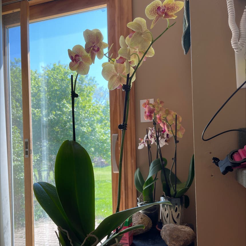 Blume Moth Orchid plant in Somewhere on Earth