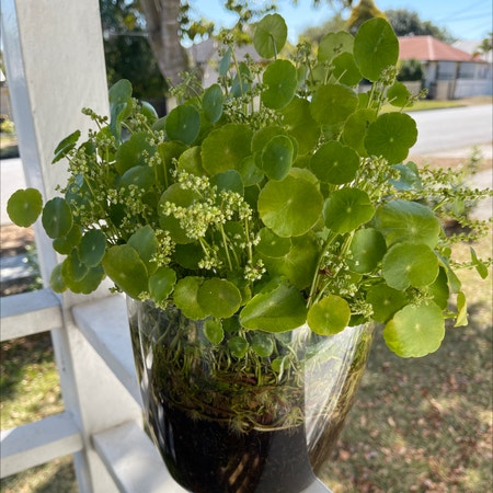 Photo of the plant species Manyflower marshpennywort by Ricardonp named Penny on Greg, the plant care app