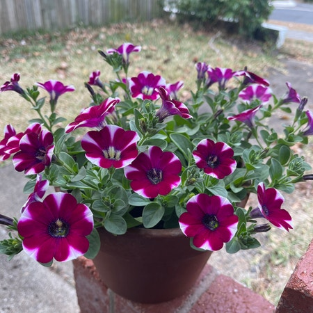 Photo of the plant species Petunia 'hot lips' by Ricardonp named Hottie on Greg, the plant care app