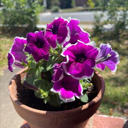 Photo of the plant species Petunia 'Cascadia' by Ricardonp named Violeta on Greg, the plant care app
