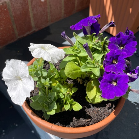 Photo of the plant species Petunia mix by Ricardonp named Nube on Greg, the plant care app