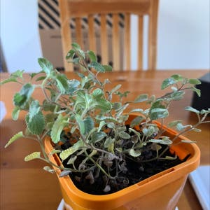 Catnip plant photo by Kam kam named CAT WEED 🚬🚬🚬 on Greg, the plant care app.
