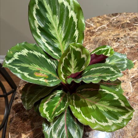 Photo of the plant species Rose Calathea by Itsarkeedah named Pray on Greg, the plant care app