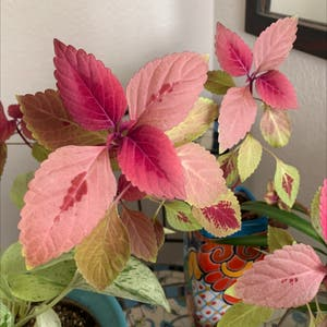 Rating of the plant Coleus named Bella by Tatianamoss on Greg, the plant care app