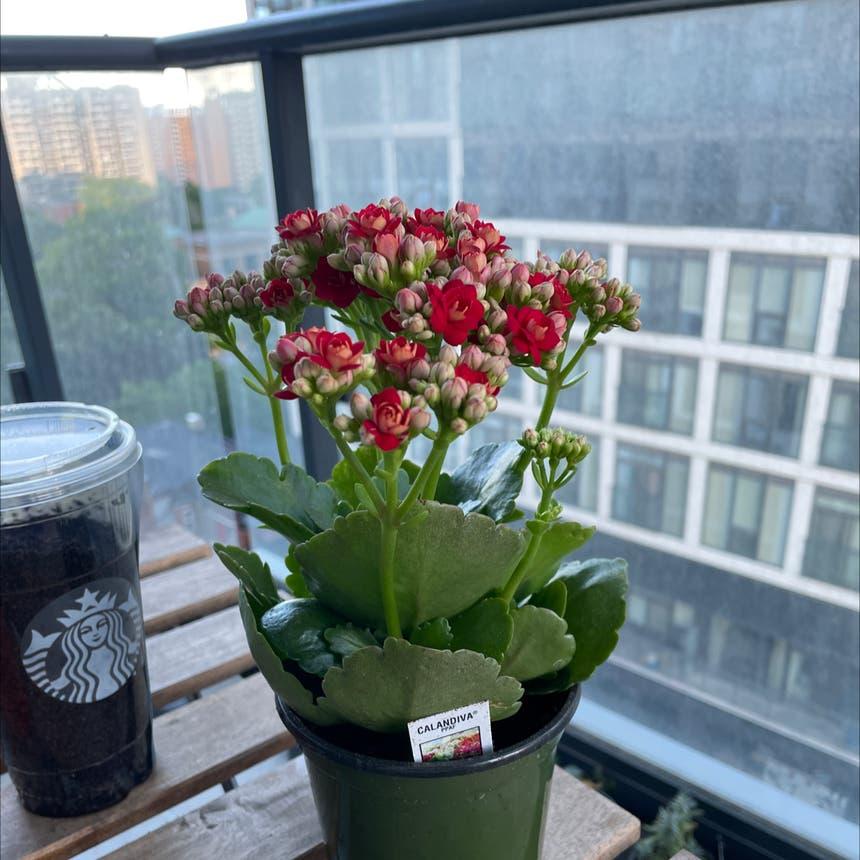 Florist Kalanchoe plant in Toronto, Ontario