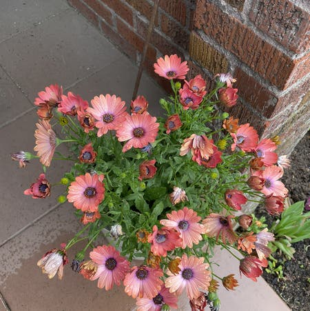 Photo of the plant species Cape Marguerite by Paulaplants named Your plant on Greg, the plant care app