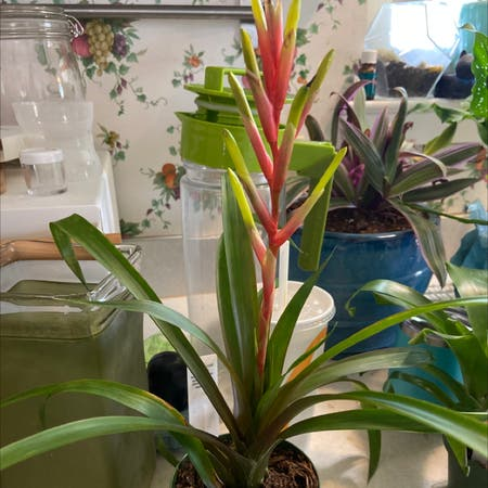 Photo of the plant species Blushing Bromeliad by Oyster_baby85 named Bronn on Greg, the plant care app