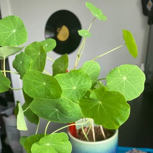 Garden nasturtium plant photo by Marley named Chihiro on Greg, the plant care app.
