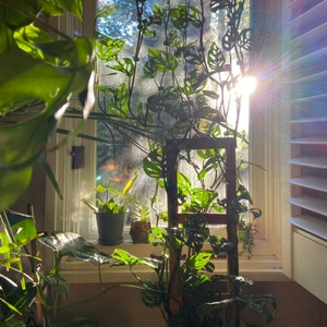 Swiss Cheese Vine plant photo by Thecre8ivgemini named Big Boi on Greg, the plant care app.