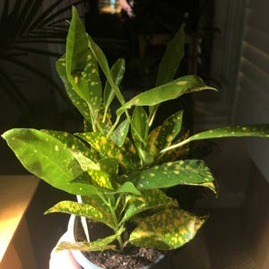 Gold Dust Croton plant photo by Thecre8ivgemini named Sol (RIP) on Greg, the plant care app.