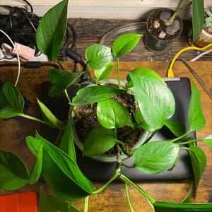 Pothos vine 'Jade Green' plant photo by Brunettesea named Robin on Greg, the plant care app.