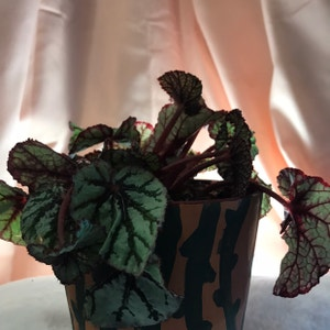 Rex Begonia plant photo by Hondeydragonwithplants named Snudew on Greg, the plant care app.