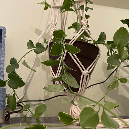 Photo of the plant species Vinca Vine Variegated by Purelypeter named Vienna on Greg, the plant care app