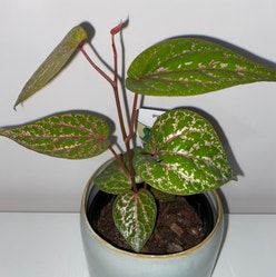 Red Betel plant