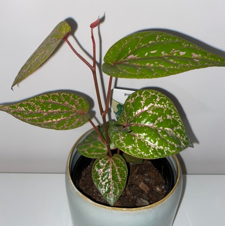 Photo of the plant species Red Betel by Jenhaynes named Piper on Greg, the plant care app