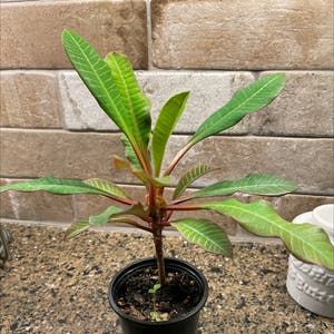 Madagascar Jewel plant photo by Ctimmins62 named Lily on Greg, the plant care app.