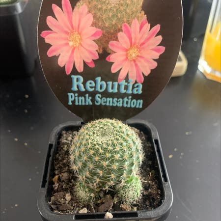 Photo of the plant species Pink Sensation by Crustypandaa named Eva on Greg, the plant care app