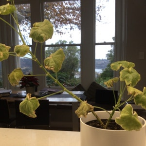 Zonal geranium plant photo by Hannahhemi named Planty on Greg, the plant care app.