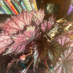 Rex Begonia plant photo by Amy named Selma on Greg, the plant care app.