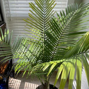 Majesty Palm plant photo by Ka named Pam (Plant 2) on Greg, the plant care app.