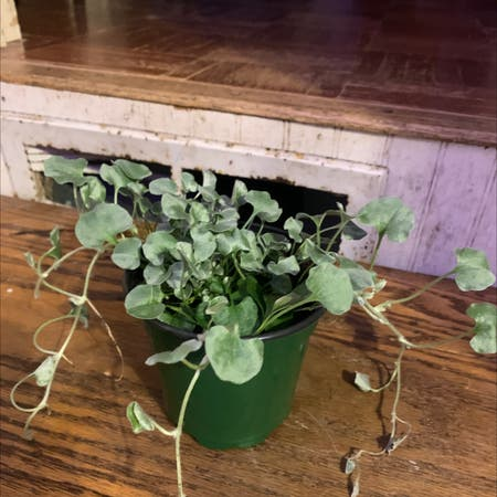 Photo of the plant species Silver Falls Dichondra by Kdthompson named Petunia on Greg, the plant care app