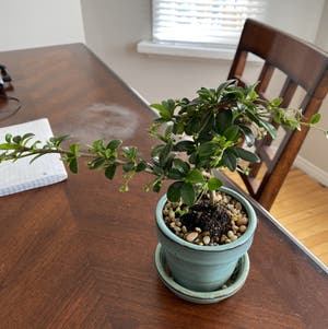 Fukien Tea Bonsai plant photo by __sutol__ named Tree diddy on Greg, the plant care app.