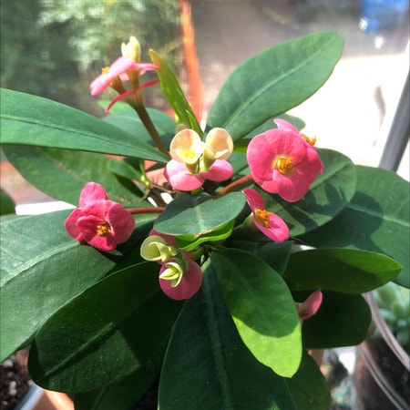 Photo of the plant species Crown of Thorns by Jimbyjoop named small one from grandma on Greg, the plant care app