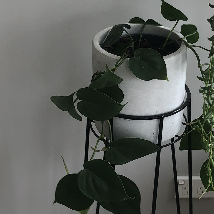 Heartleaf philodendron plant in Melbourne, Victoria