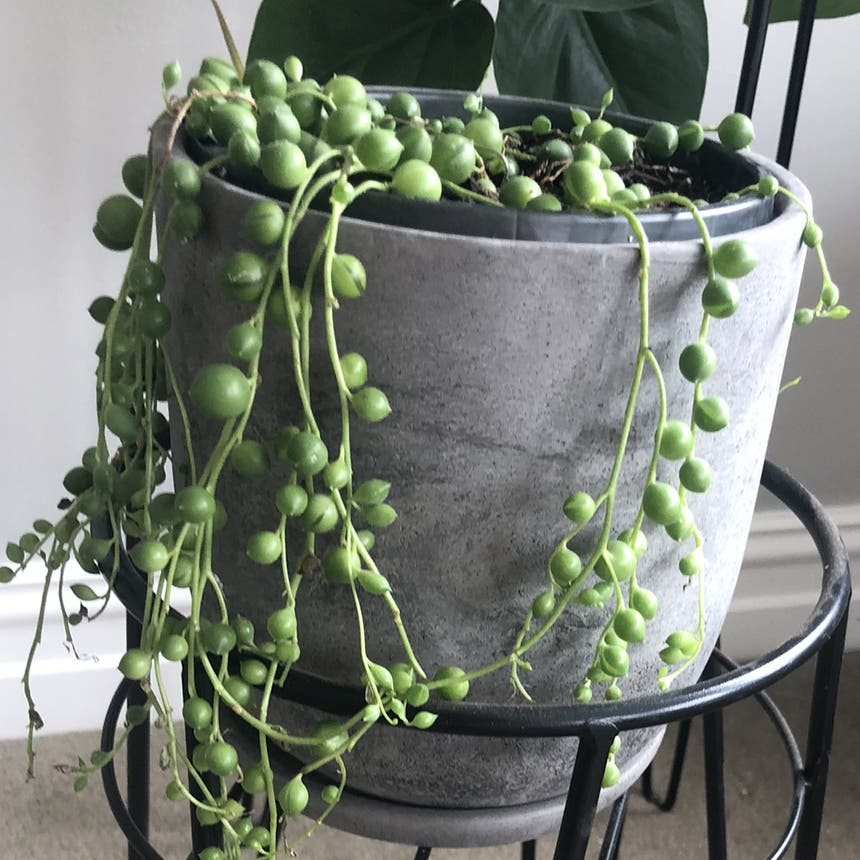 String of Pearls plant in Melbourne, Victoria