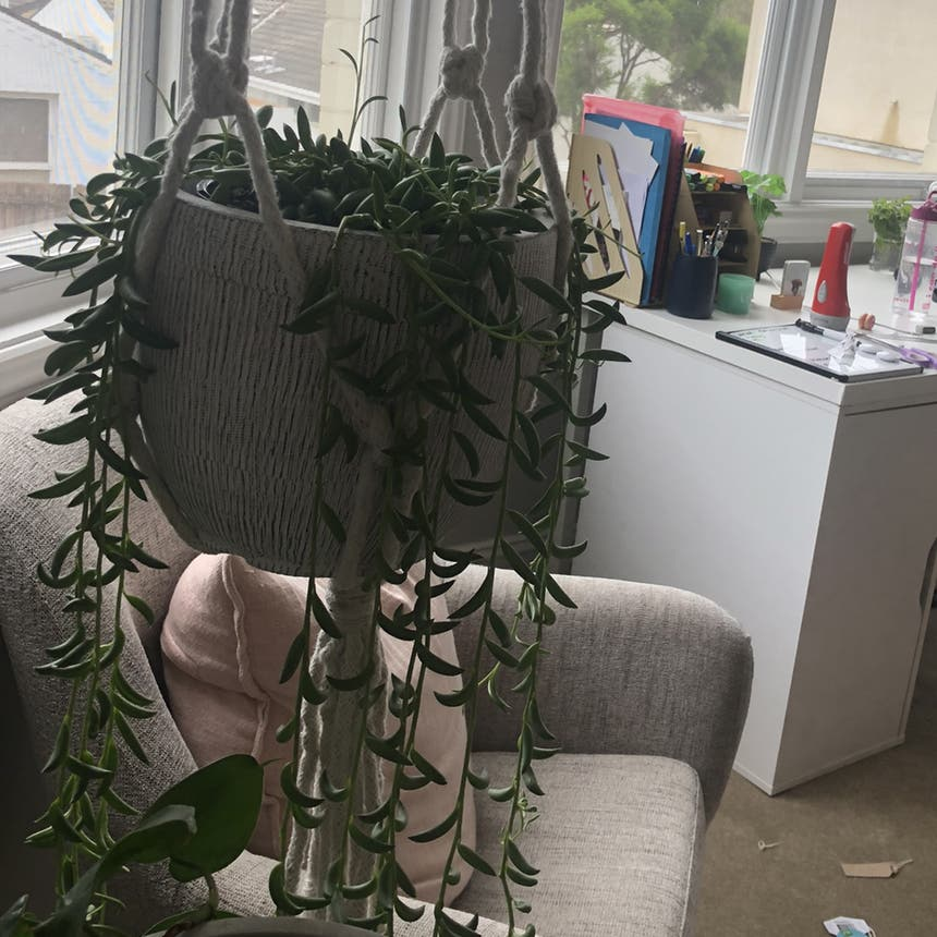 String of Bananas plant in Melbourne, Victoria