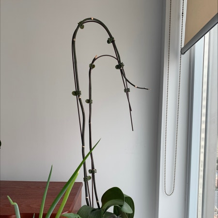 Photo of the plant species Black Velvet Jewel Orchid by Katjo named Stella on Greg, the plant care app