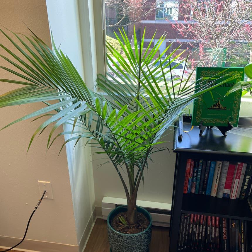 Majesty Palm plant in Seattle, Washington