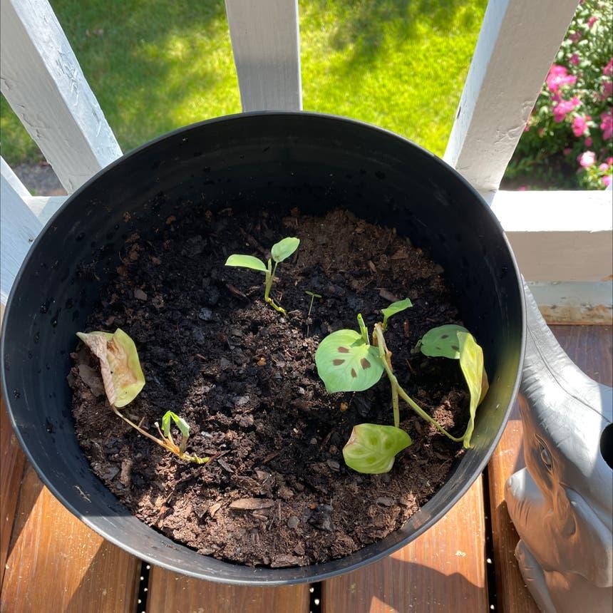 Prayer Plant plant