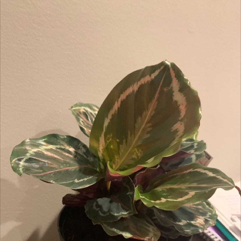Calathea 'Julia' plant